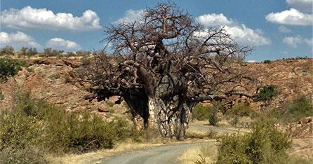 Baobab Tree - Bushveld breakaway